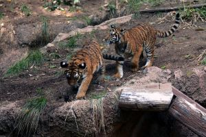 tiger cubs 3 by stockofshutterbugmom
