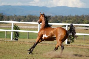 GE arab pinto cantering away behind 3/4 view by Chunga-Stock