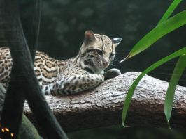 Ocelot by queenpasiphae