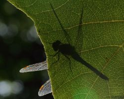 Shadow Fly by natureguy
