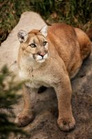 Wildcat by Sagittor