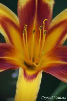 Yellow and Red Lily by poetcrystaldawn
