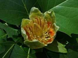 Tulip Poplar Flower by Matthew-Beziat