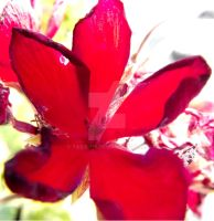 Overexposed Red Flower by Tails-155