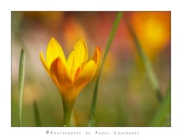 Yellow Crocus Flower by poraschaudhary