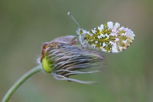 Anthocharis cardamines male by mescamesh