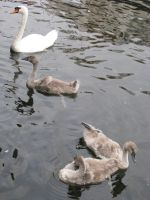 Animals 098 swan with young by Dreamcatcher-stock