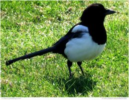 Magpie by In-the-picture