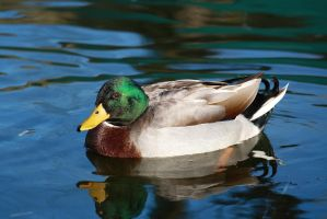 Male mallard by Alex-Br