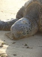 Sea Turtle Close Up by Jessawary