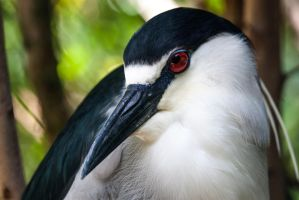 Black Crested Night Heron by TomFawls