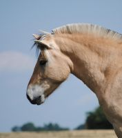 Fjordhorse head by KSS-picturing