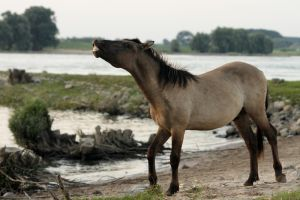 Wild horse by Ockie