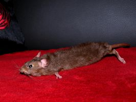 Male rat soft mount - SOLD by StanHoneyThief
