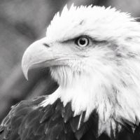 Bald Eagle in BW by OrioNebula