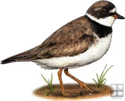 Semipalmated Plover by rogerdhall