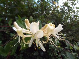 Wild honeysuckle by buttercupminiatures