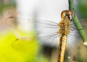 Dragonfly. by Naxal