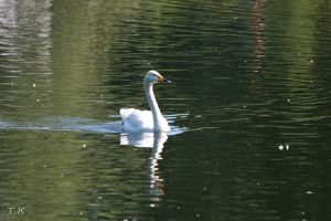 Swan by Proximax