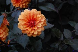 Dahlia by snapshot-and-capture