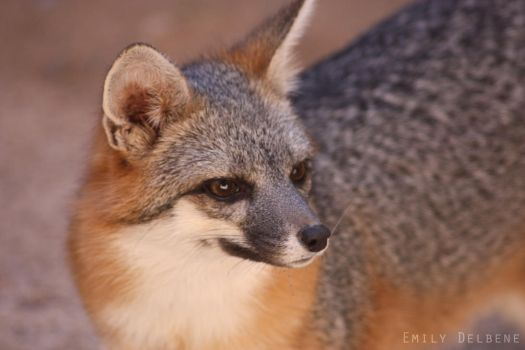 Grey Fox 2 by emaeve