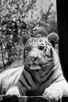 Zoo - Tiger by Beowolf17