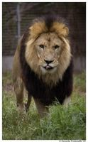 Lion Approaching by TVD-Photography