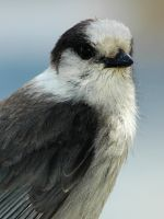 Portrait of a grey jay by LucieG-Stock