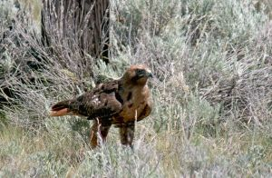 Rufus Morph Red Tailed Hawk by Kippenwolf