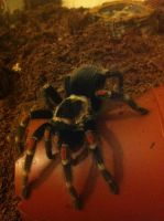 Mexican Flame Knee Tarantula (13) by emmys-stock