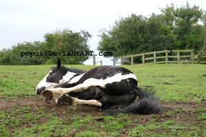 Piebald horse rolling5_stock by popui