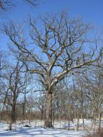 631 - tree by WolfC-Stock