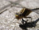 Dragonfly by simonfortin2