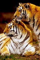Tigers by Art-Photo