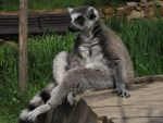 Lemur catta 014 by animalphotos