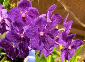 Vanda Pachara Delight by Kitteh-Pawz