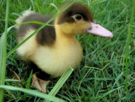 baby duck by chickenpow