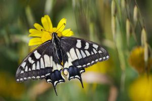 Papilio machaon by PauloALopes