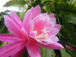Reaching out (Epiphyllum rose queen) by cdkalos