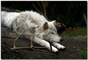 Dog Tired  II by LoneWolfPhotography