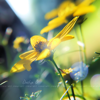 ::BUTTERCUP:: by onixa