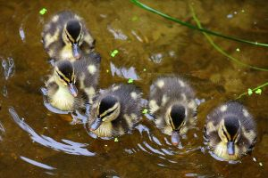 Baby Ducks by Sagittor