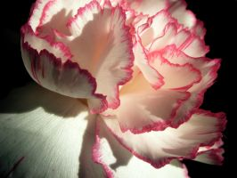 Pink Carnation 10 by KCarey