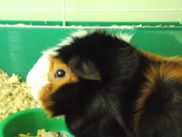 Sir Hiccup the Guinea Pig by TobbieGurl385