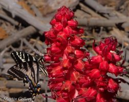 Burton Creek butterfly and snowplant140607-37 by MartinGollery