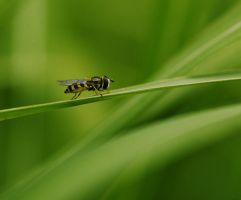 Syrphidae by olivvka