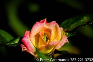 Miniature Pink and Yellow Rose with Vintage Lens by Caramanos2000