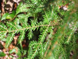 Pine branch close up by oldsoulmasquer
