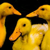 Tri-Processed Yellow Duck by PoultryChamp