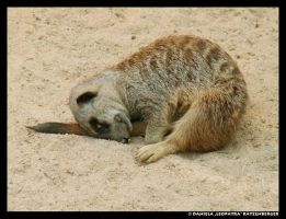 Sleeping Meerkat by leopatra-lionfur